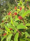 印地安杜鹃花,马拉巴尔Mela的红色毛茸的长毛的花蕾 免版税图库摄影