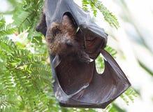 印地安果实蝙蝠睡觉 库存照片