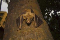 印地安果蝠棒,狐蝠属giganteus Bhavans学院,西部的Andheri,孟买 免版税库存照片