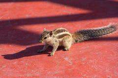 印地安棕榈灰鼠(Funambulus palmarum)坐红色地板 免版税库存照片