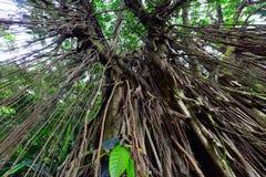 印地安橡胶树 库存照片