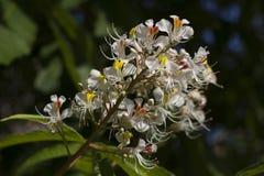 印地安欧洲七叶树树的花 免版税库存图片