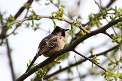 印地安歌手鸟 免版税库存图片