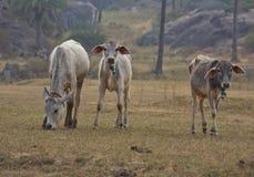 印地安母牛吃草 免版税图库摄影