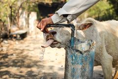 印地安母牛喝水 免版税库存图片