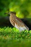 印地安池塘苍鹭, Ardeola grayii grayii,在自然沼泽栖所,斯里兰卡 在美丽的绿草的苍鹭 鸟从  库存照片
