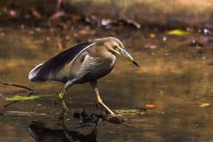 印地安池塘苍鹭Ardeola grayii 图库摄影