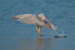 印地安河燕鸥或河燕鸥& x28; 胸骨aurantia& x29; 库存图片