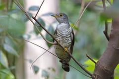 印地安泰国的杜鹃Cuculus micropterus逗人喜爱的鸟 免版税库存照片