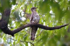 印地安泰国的杜鹃Cuculus micropterus逗人喜爱的鸟 库存图片