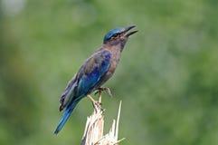 印地安泰国的路辗Coracias benghalensis美丽的鸟 免版税库存图片