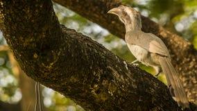 印地安灰色犀鸟 免版税库存照片