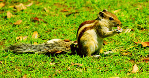 印地安灰鼠 库存图片