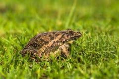 印地安牛蛙 免版税库存图片