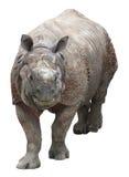 印地安犀牛或更加伟大的一有角的犀牛在白色背景 免版税库存照片
