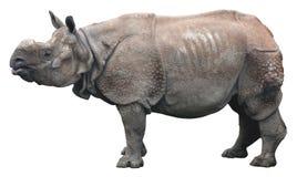 印地安犀牛或更加伟大的一有角的犀牛在白色背景 库存照片