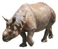 印地安犀牛或更加伟大的一有角的犀牛在白色背景 免版税库存图片