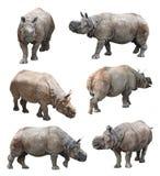 印地安犀牛或更加伟大的一有角的犀牛的各种各样的姿势在白色背景,超级系列 图库摄影