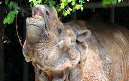 印地安犀牛或更加伟大的一有角的犀牛面部特点  免版税库存照片