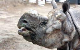 印地安犀牛或更加伟大的一有角的犀牛面部特点  库存图片