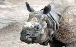 印地安犀牛或更加伟大的一有角的犀牛面部特点  免版税图库摄影