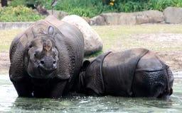 印地安犀牛或更加伟大的一有角的犀牛 免版税库存图片