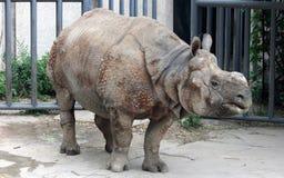 印地安犀牛或更加伟大的一有角的犀牛 库存照片