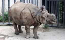 印地安犀牛或更加伟大的一有角的犀牛 图库摄影
