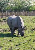 印地安犀牛或更加伟大的一头有角的犀牛犀牛unicornis在彻斯特动物园,彻斯特 免版税库存照片