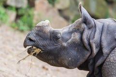 印地安犀牛的特写镜头 库存图片