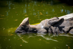 印地安犀牛& x28; 更加巨大的一有角的rhinoceros& x29;游泳 免版税库存照片