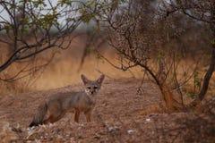 印地安狐狸 图库摄影