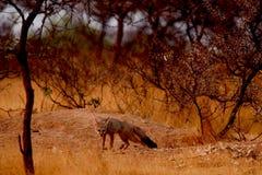 印地安狐狸 免版税库存图片