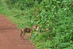 印地安狐狼家庭  免版税图库摄影