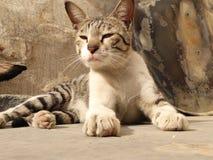 印地安猫 免版税图库摄影