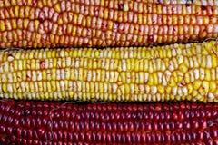 印地安玉米的耳朵 免版税库存图片