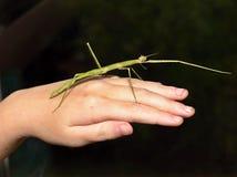 印地安竹节虫目 免版税库存照片