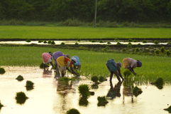 印地安米农夫 免版税库存图片
