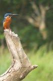 印地安翠鸟2 免版税图库摄影