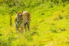 印地安老虎在草甸 免版税库存照片