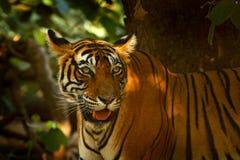 印地安老虎,野生动物在自然栖所, Ranthambore,印度 大猫,危险的动物 旱季的结尾,开始的阜 免版税库存照片