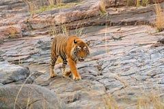 印地安老虎,野生危险动物在自然栖所, Ranthambore,印度 大猫,危险的哺乳动物,精密皮大衣 干燥海的末端 库存照片