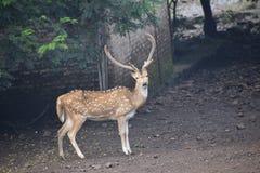 印地安肉猪鹿 免版税库存图片