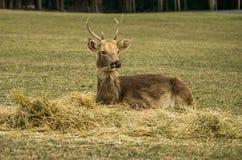 印地安肉猪鹿Hyelaphus porcinus 库存照片