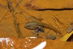 印地安船长青蛙蝌蚪,掠过的青蛙, Euphlyctis cyanophlyctis 本地治里市,泰米尔纳德邦,印度 库存图片