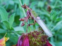印地安花螳螂 免版税图库摄影