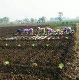 印地安葱种子播种 免版税库存图片