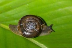 印地安蜗牛 免版税图库摄影