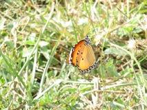 印地安蝴蝶 免版税库存照片