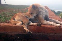印地安街道狗 库存图片
